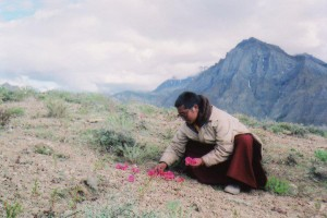 Menri Lopon Rinpoche collecting medicine in Dolpo