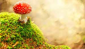 Amanita muscaria and the Origins of Christmas