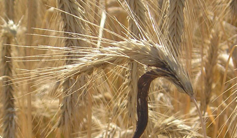 Claviceps purpurea – Ergot