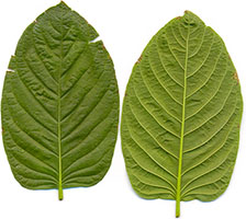 Dried Kratom Leaves