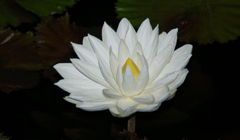 Nymphaea ampla – White Water Lily