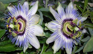 Passiflora spp. - Passion Flower