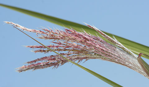 Phragmites australis – Common Reed