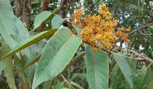 Virola theiodora - Cumala Tree