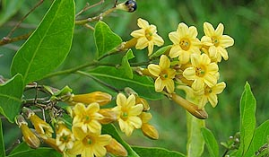 Cestrum parqui – Willow-Leafed Jessamine