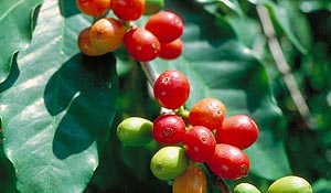 Coffea arabica - Coffee Bush