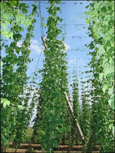 Cultivated Hops Vines