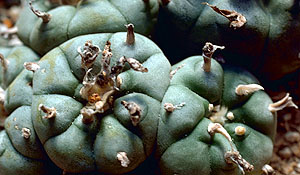 Chemistry of Peyote (Lophophora williamsii)