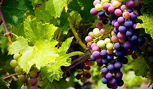 Vitis vinifera - Wine Grape